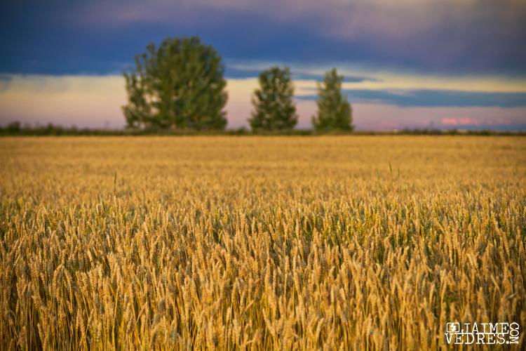 Three Tree Wheat Field