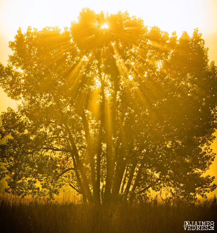 Golden Riverbottom Tree