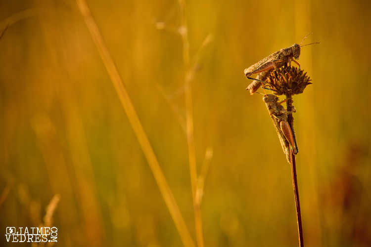 Grasshoppers in the Dew