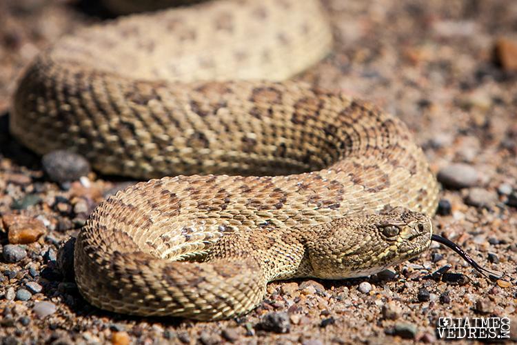 Lethbridge Rattlesnake