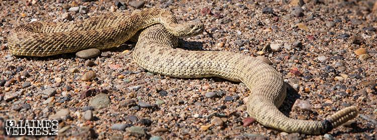 Lethbridge_Rattlesnake2