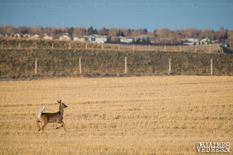 Lethbridge Deer Photo