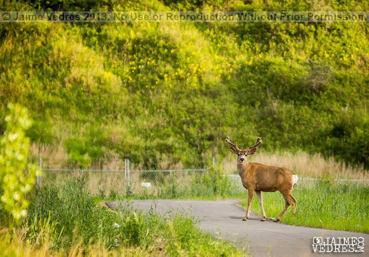 Lethbridge Bridge Drive Deer