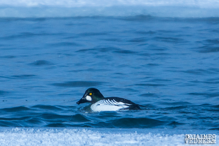 Barrows Goldeneye Duck