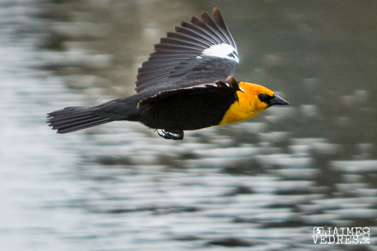 Yellow Headed Blackbird in flight