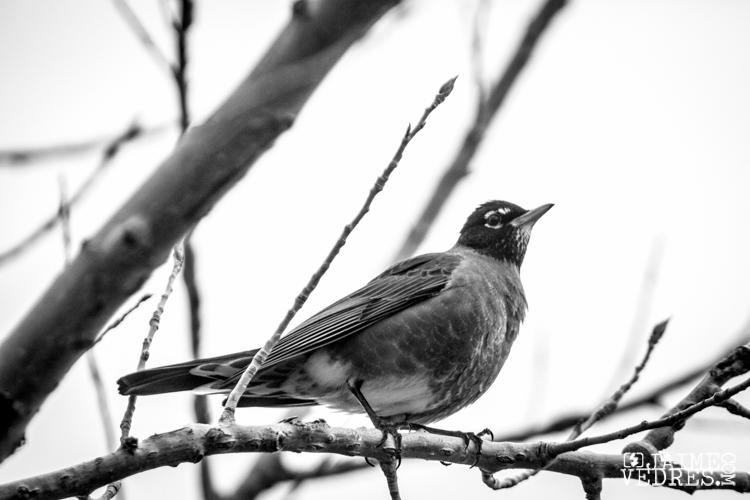 Robin - Lethbridge Alberta