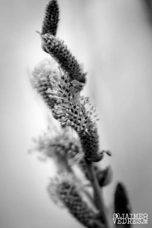 Pussy Willow Tree Bud