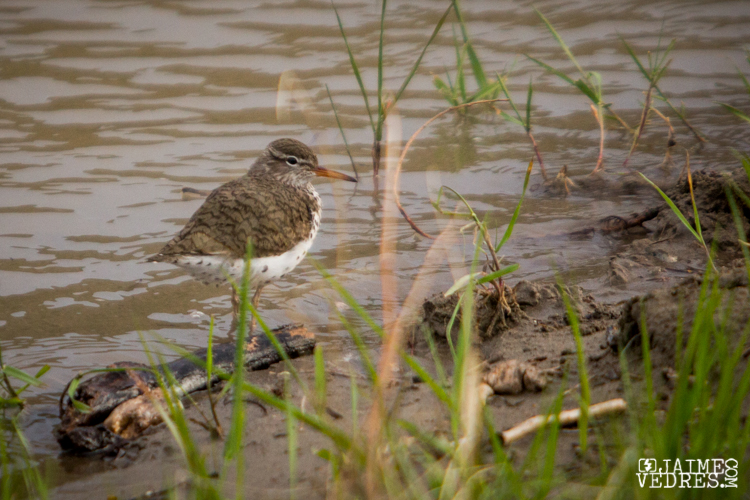 Spotted Sandpiper, Lethbridge