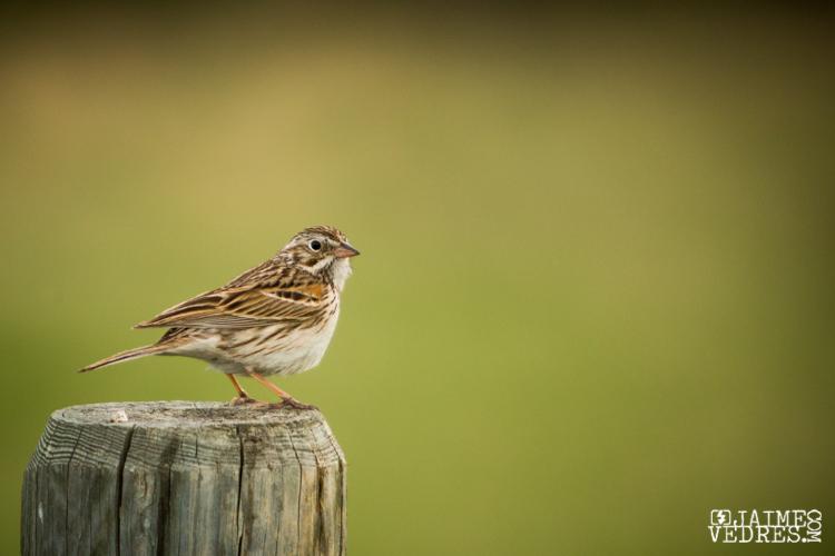 Vesoer Sparrow