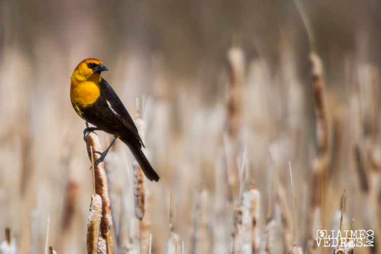 Yellow headed blackbird - Lethbridge Alberta