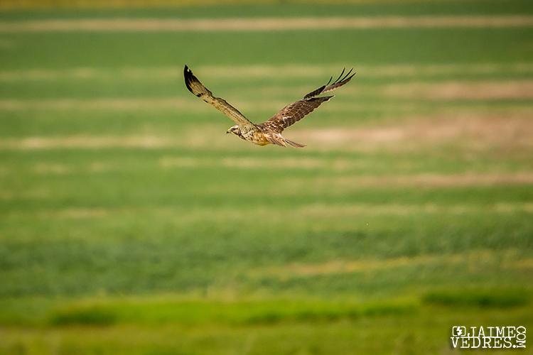 Alberta_Hawk_002