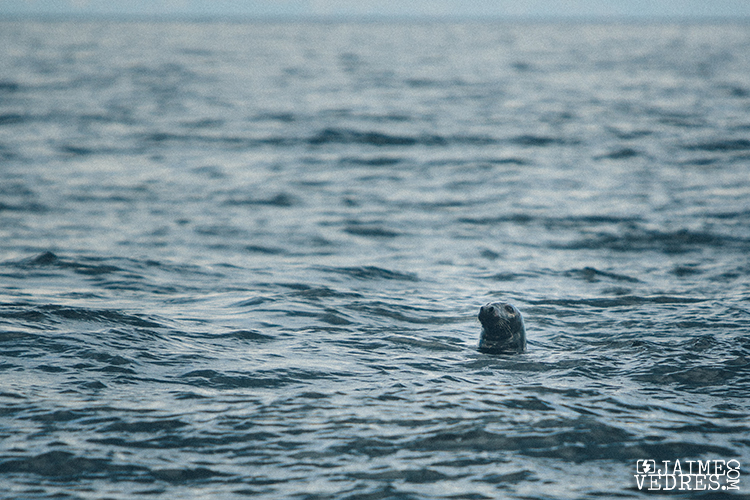 Grey Seal, East Coast, Nova Scotia