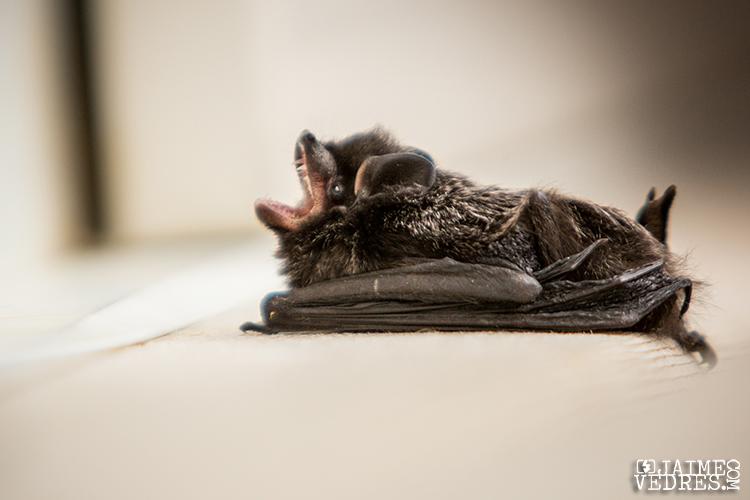 Lethbridge_Bat