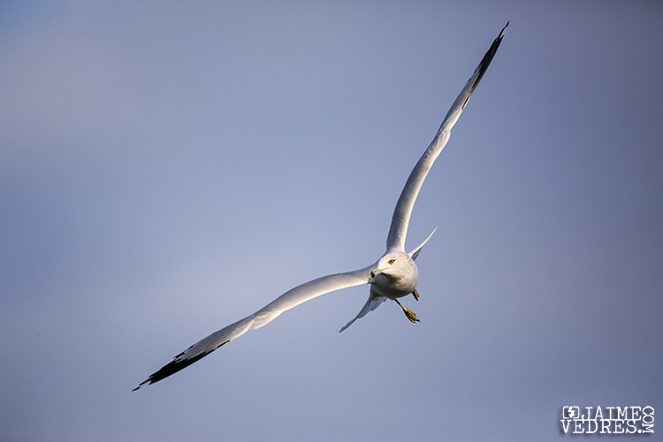 Lethbridge_Seagull