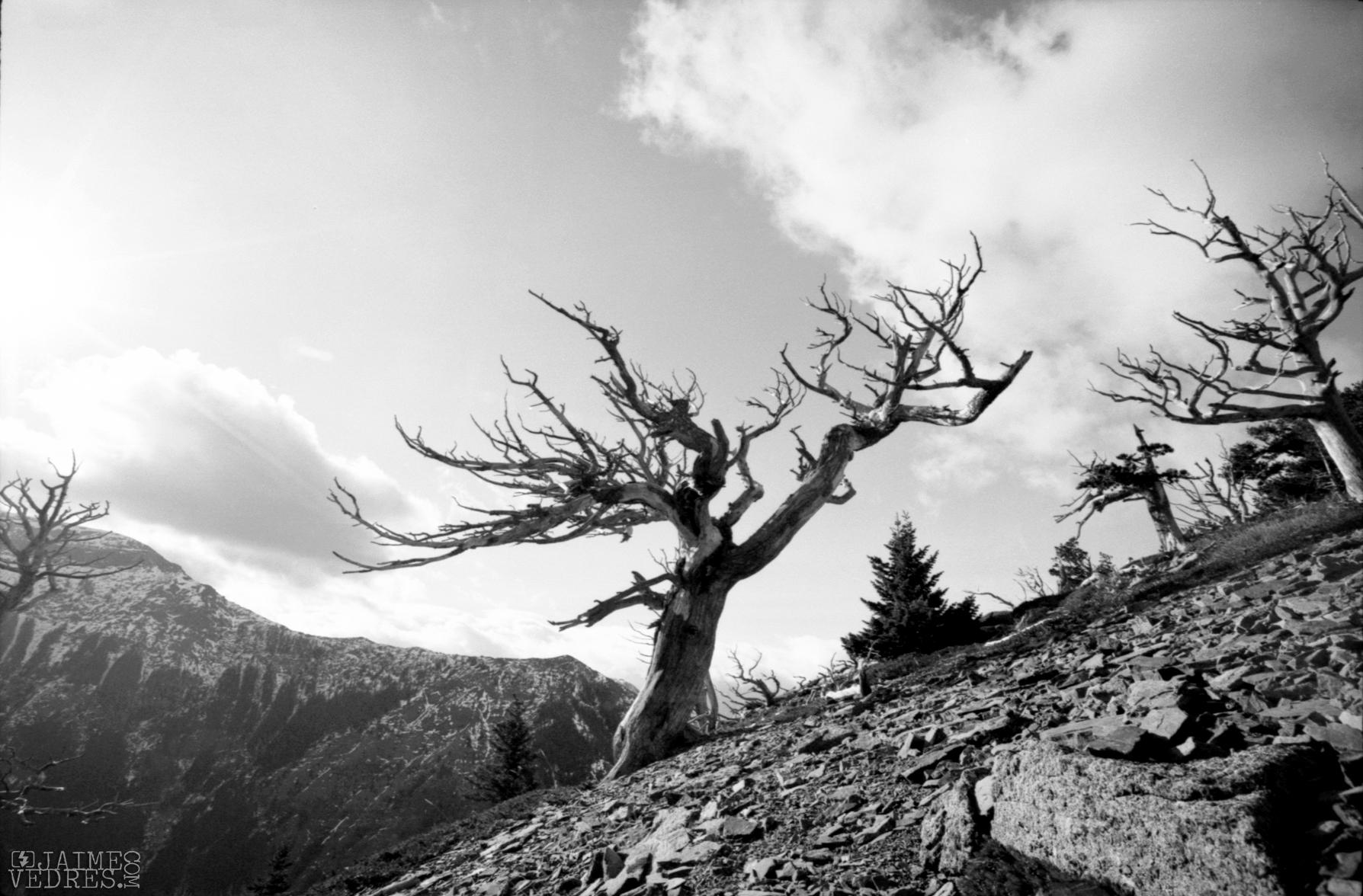 Table Mountain Tree, Alberta