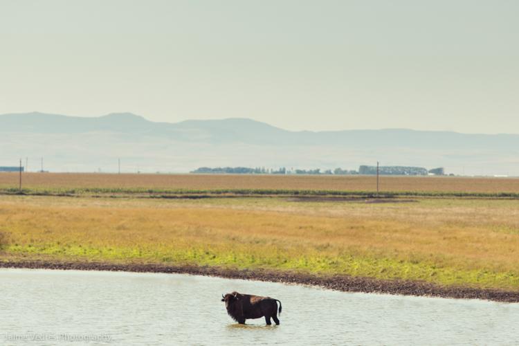 Alberta Buffalo