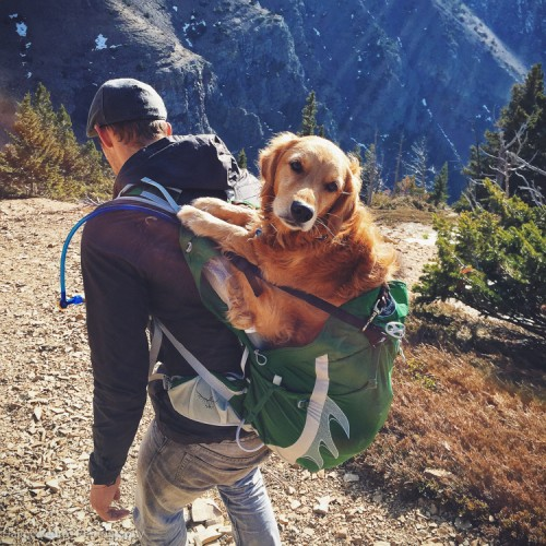 Dog In a Backpack, Golden Retriever