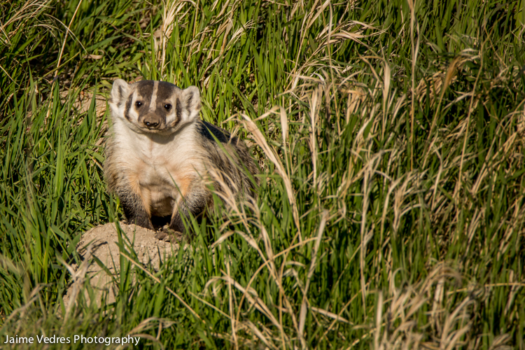 American Badger, Waterton Lakes