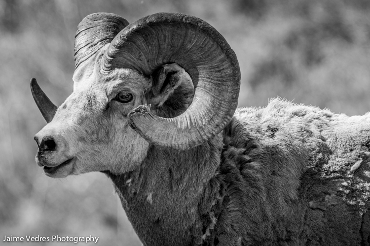 Bighorn Sheep, Waterton Alberta