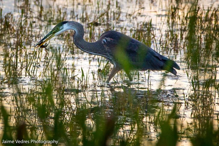 Blue Heron, Southern Alberta, Travel Alberta