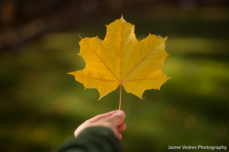 Fall Colours, Maple Leaf