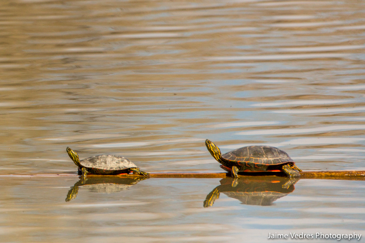Lethbridge, Turtles