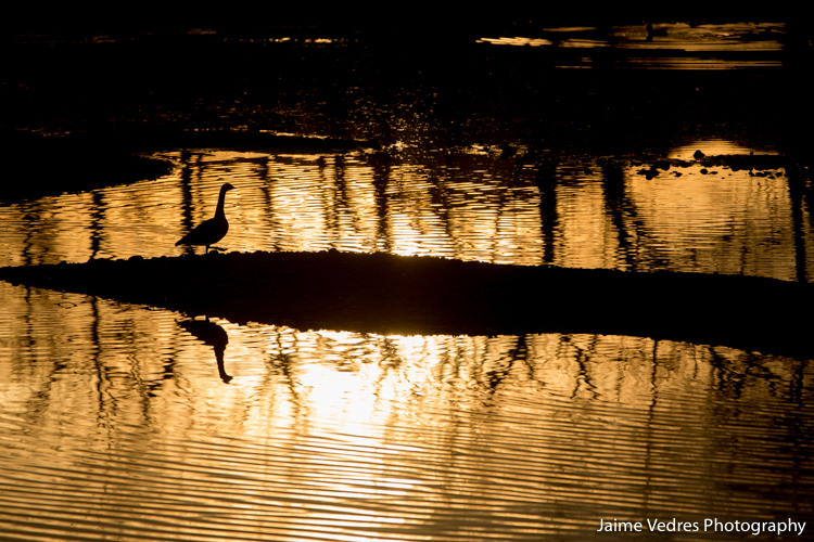 Canadian Goose Silhouette