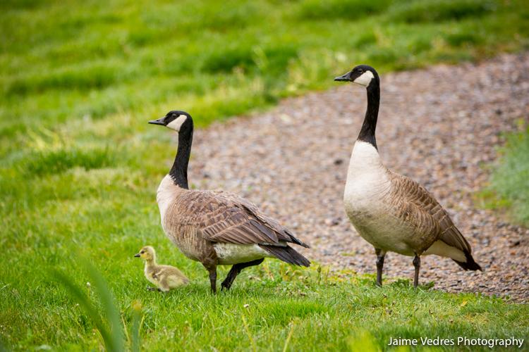 Geese Gosling