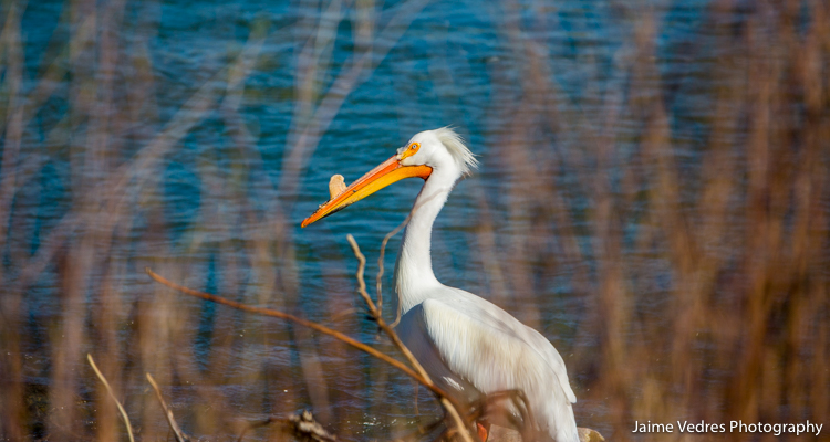 Lethbridge_Pelicans