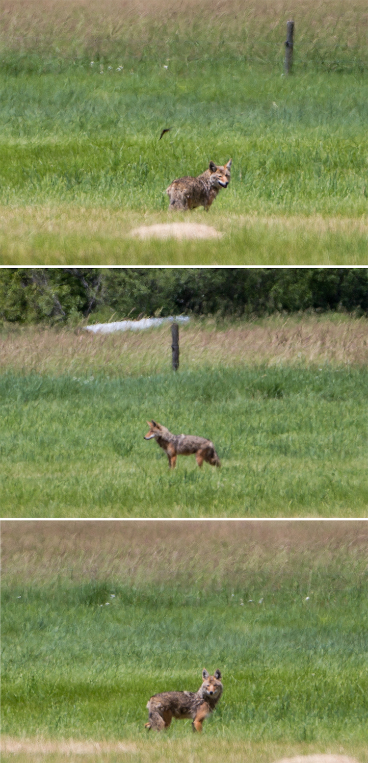 Coyote_Grandforks