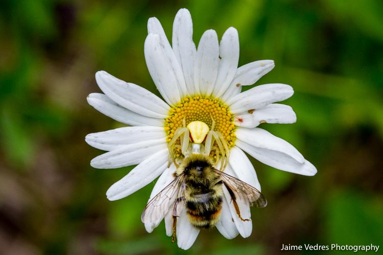 CrabSpider_Bee