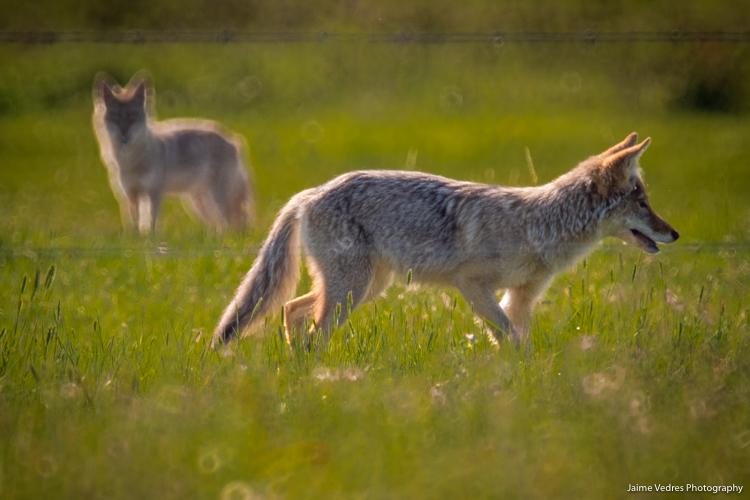 Alberta_Coyotes