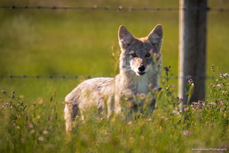 Coyote_Alberta