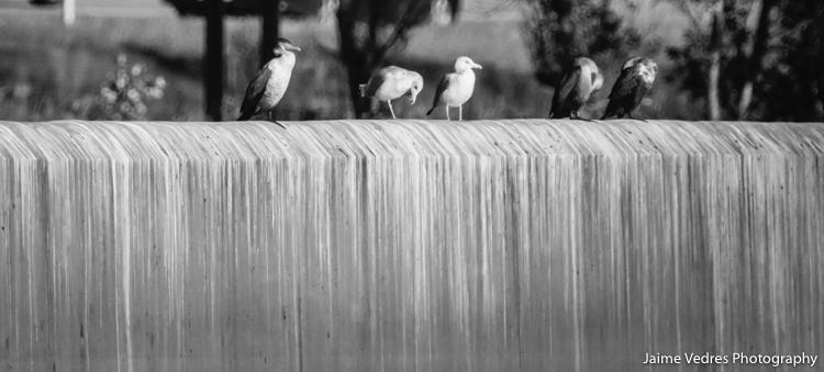 doublecrested_cormorant