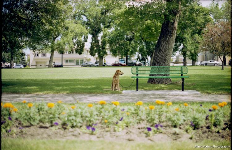 Galt Gardens Golden Retriever Dog